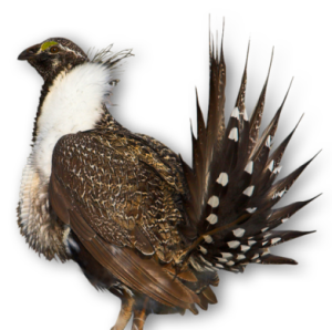 Greater sage-grouse. Credit: USFWS